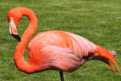 flamingo Obraz Royalty Free