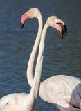 Flamingo Arkivbild