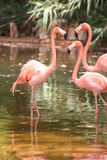 Flamingo. Three Flamingo in the sun Stock Images