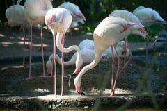 Flamingo Foto de Stock