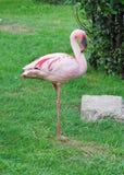 Flamingo. Standing on one leg Royalty Free Stock Photos
