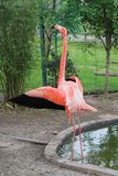 Flamingo. A flamingo with open wings Royalty Free Stock Photo