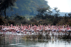 Flamingo Royalty-vrije Stock Foto