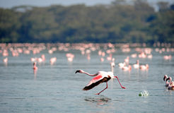 Flamingo Royalty-vrije Stock Foto's