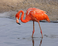 Flamingo. foto de stock