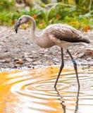 Flamingo Lizenzfreies Stockfoto