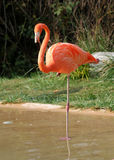 Flamingo Royalty Free Stock Photography
