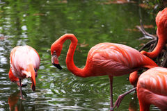 Flamingo. Pinkish plumage flamingo searching for food in a pond Stock Photo