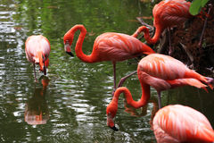 Flamingo. Pinkish plumage flamingo searching for food in a pond Stock Images