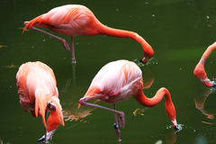 Flamingo. Pinkish plumage flamingo searching for food in a pond Stock Image