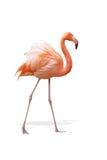 Flamingo Royaltyfri Bild