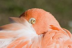 Flamingo. Close-up of flamingo with head tucked stock photo