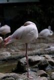 flamingo Immagine Stock
