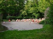 flamingo fotos de stock royalty free