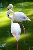 flamingo Fotografia Stock