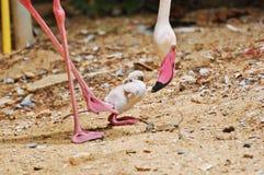 flamingo Immagine Stock Libera da Diritti