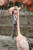 flamingo lizenzfreies stockbild