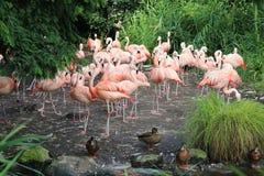 flamingo lizenzfreie stockbilder