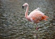 Flamingo Stock Image