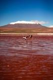 flamingo Royalty-vrije Stock Afbeelding