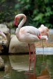 flamingo zdjęcie stock