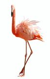 Flamingo. The isolated image of flamingo Stock Photos
