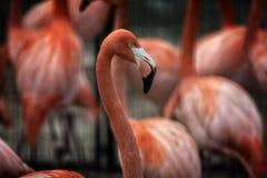 Free Flamingo Stock Photography - 48830872