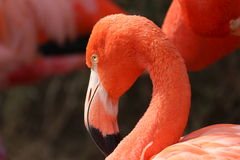 flamingo Fotografie Stock
