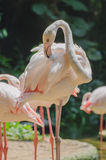 flamingo Immagini Stock Libere da Diritti