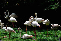flamingo Immagine Stock