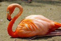 Flamingo fotografia de stock