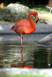 Flamingo. Pink flamingo standing on one leg stock image