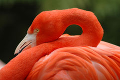 Flamingo. Details Stock Photos