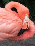 flamingo Stockfoto