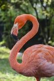 flamingo Royalty-vrije Stock Fotografie