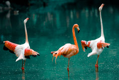 Flamingo. Beautiful flock of a flamingo Royalty Free Stock Images