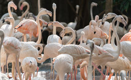 flamingo Royaltyfri Bild
