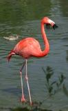 Flamingo Imagem de Stock