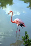 Flamingo. Colorful pink flamingo in the water Royalty Free Stock Images