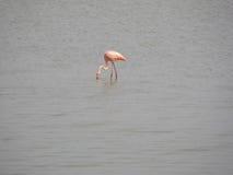 1 flamingo Arkivfoton