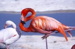 flamingo Zdjęcie Royalty Free