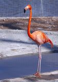 Flamingo Stock Afbeeldingen