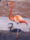 flamingo royaltyfri foto