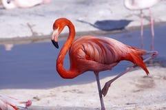 flamingo Fotografia Royalty Free