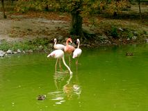 Flamingo. Walking in a lake in the park royalty free stock photo