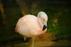 flamingo Stockfotografie