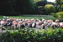 flamingo Immagini Stock