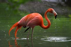 flamingo Obraz Stock
