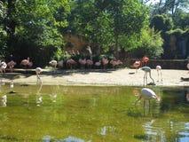 flamingo Fotografering för Bildbyråer