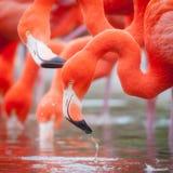 flamingo Fotos de Stock